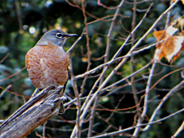 autumn-robin