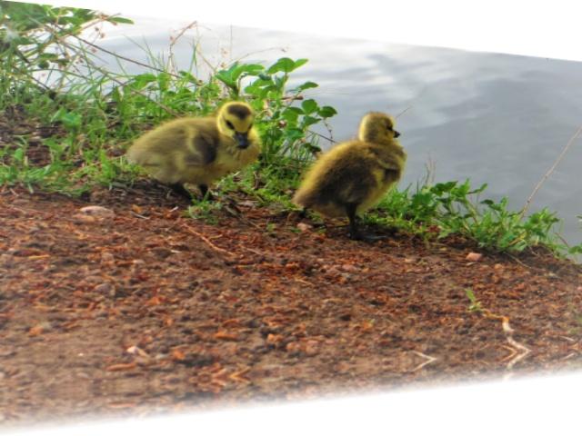 goslings in training