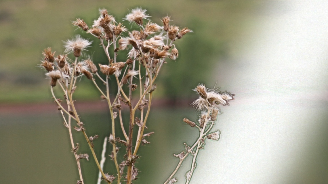 quietly pleased-diffuse knapweed