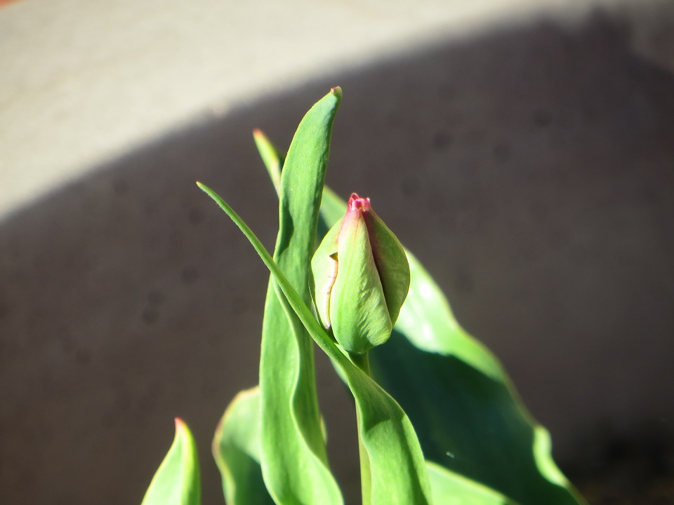 ready to bloom