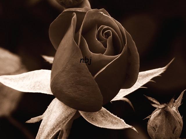 Red Rose Moment- sepia dark - Copy